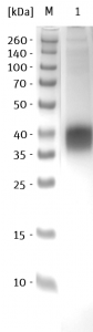 SDS-PAGE/Coll. Coomassie SARS-CoV-2