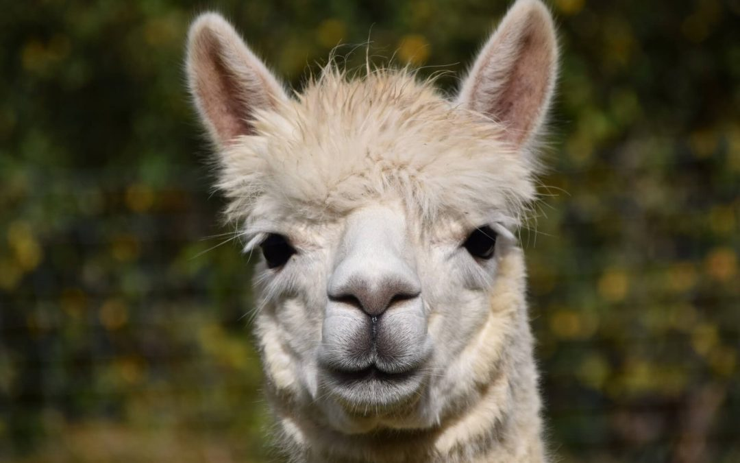 SARS-CoV-2-Research with Alpacas –  strong antibody to combat COVID-19